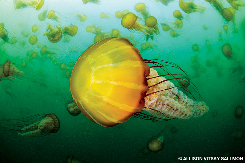 A bloom of sea nettle jellyfish delivers a lovely safety stop in Monterey Bay.