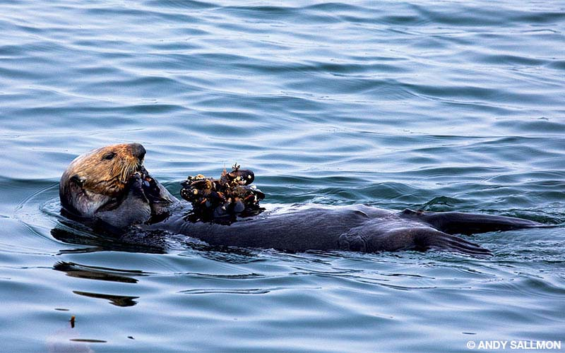 A sea otter feeds on a clump of mussels near Cannery Row in Monterey.