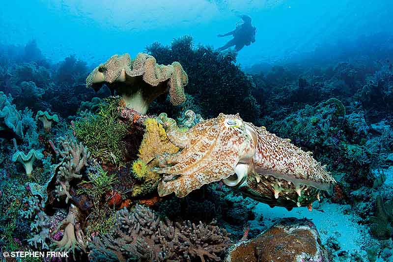 cuttlefish and corals with a diver in the distant background