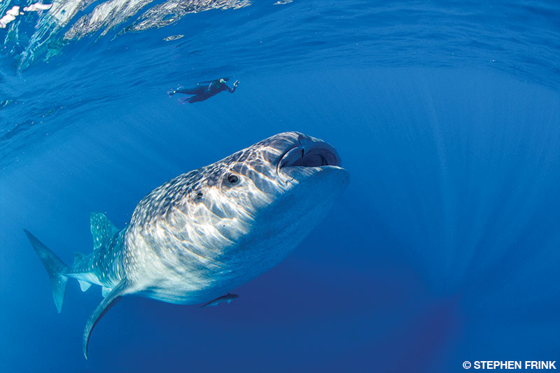 whale shark and diver for size reference