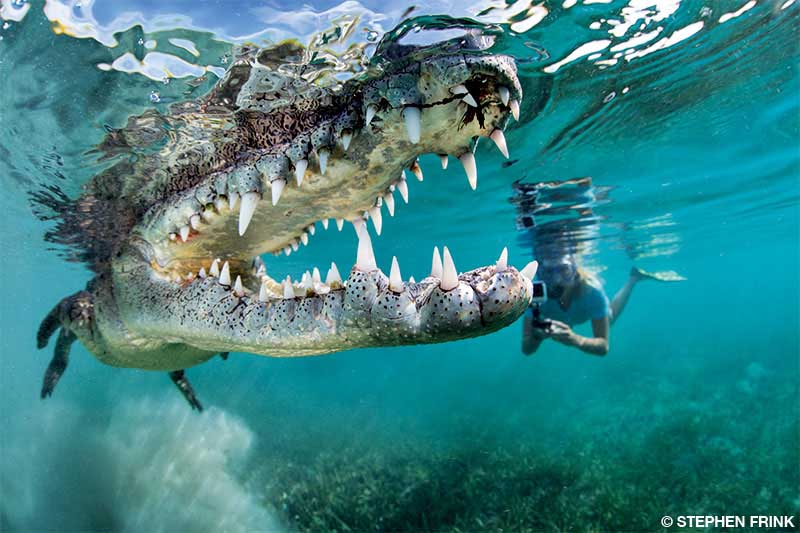 Female snorkeler photographs a wide-mouthed crocodile, with the croc appearing larger than normal because of perspective distortion.
