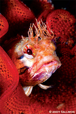 A yellowfin fringehead looks out from its lacy bryozoan fortress at Monterey's Municipal Wharf II.