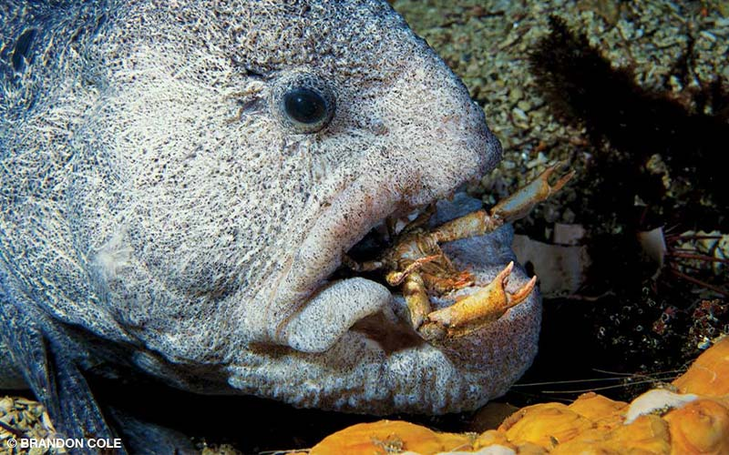 An old male wolf-eel chomps a crab.