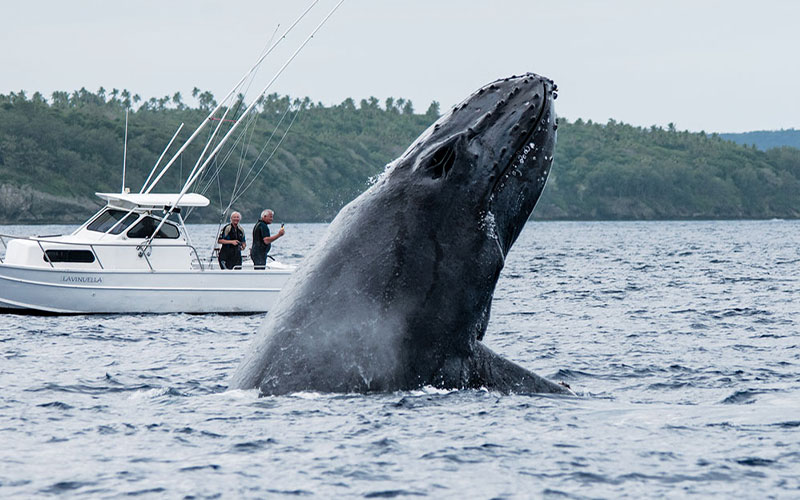 A breaching humpback whale appears next to a little boat