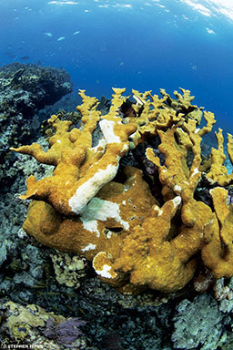 Yellow coral has white splotches because it is damaged