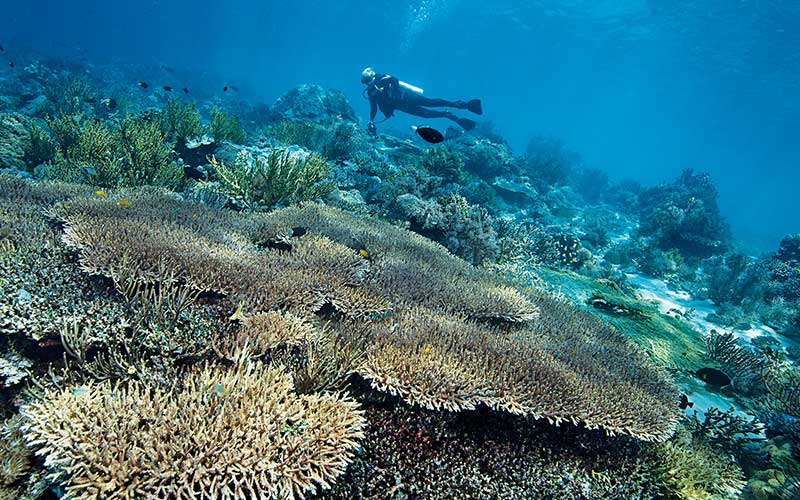 Diver swims over fan corals