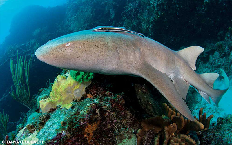Nurse shark swims over coral