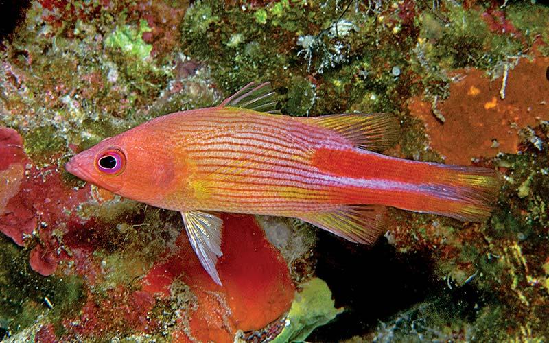 A pretty orange and pink fish