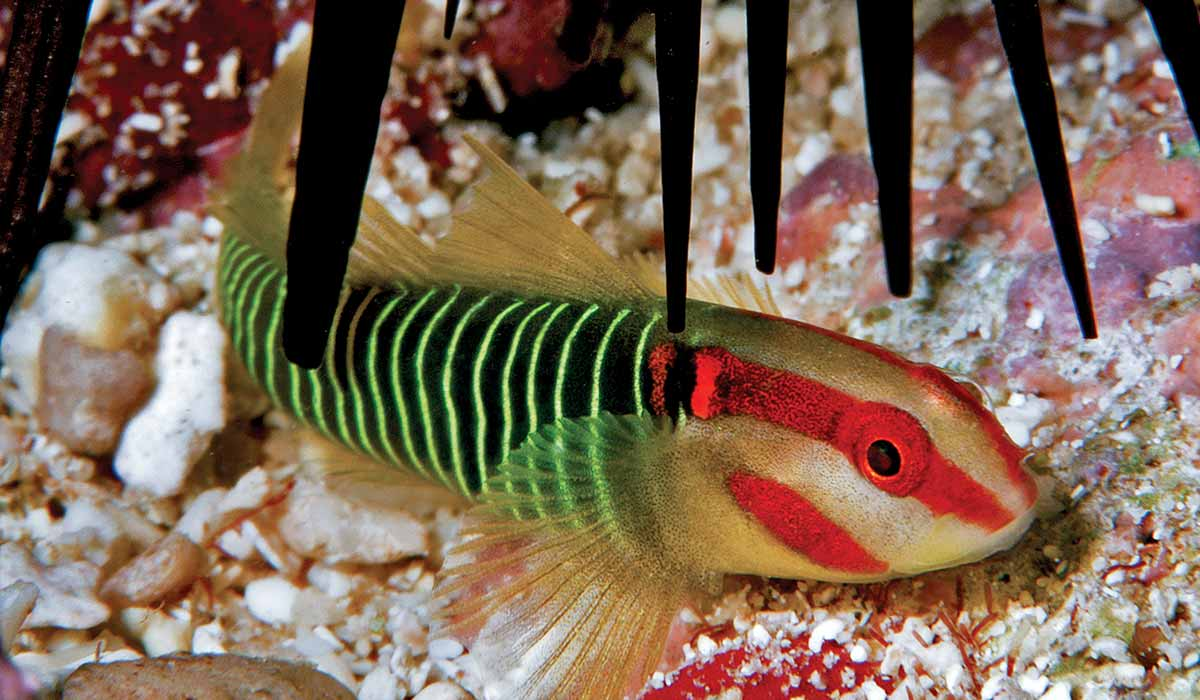 A redcheek goby has a black-and-green striped body, with a red-striped head