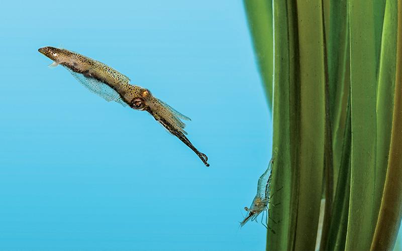 Squid preys on a tiny shrimp on seagrass
