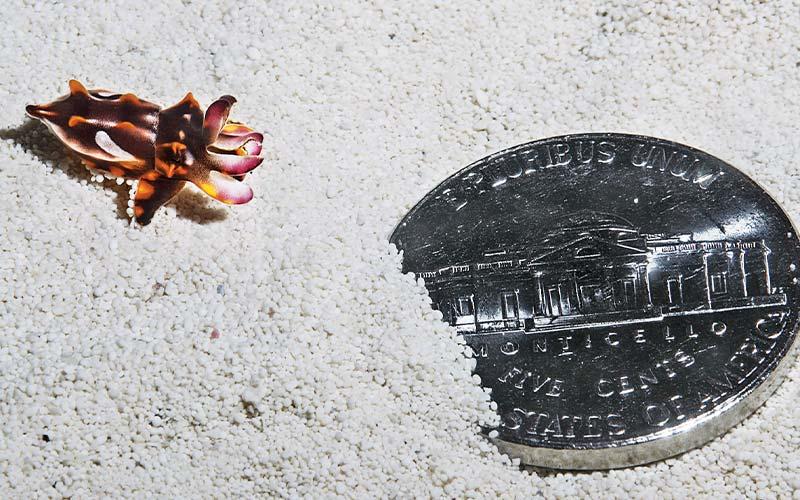 Tiny brown-orange cuttlefish next to US nickel to show tiny size