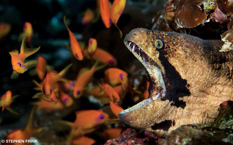 With anthias in the background at Noonu Atoll, a giant moray eel gapes at the camera.