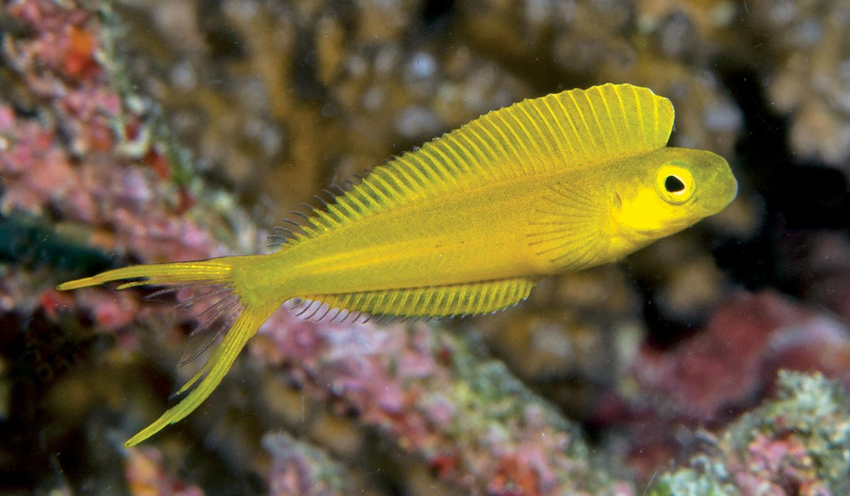 Yellow fangblenny hangs out in the water