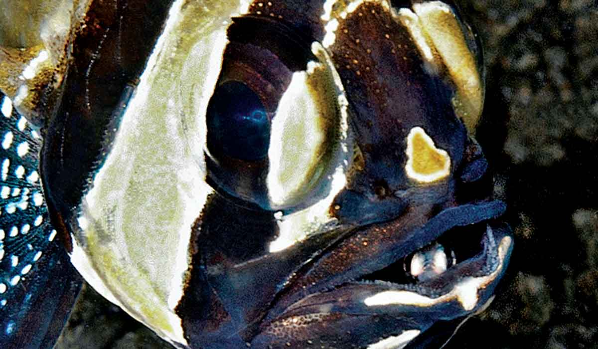 A Banggai cardinalfish stares at the camera