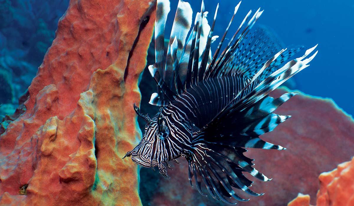A grumpy-looking lionfish