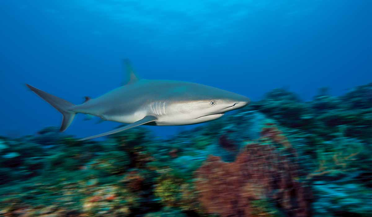 Blurry image of a shark as he swims above coral.