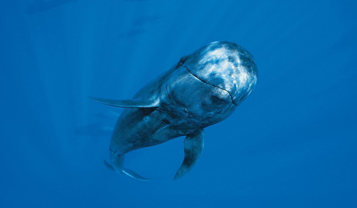 Curious pilot whale inspects camera