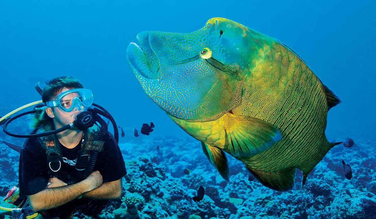 Diver floats next to a giant green wrasse