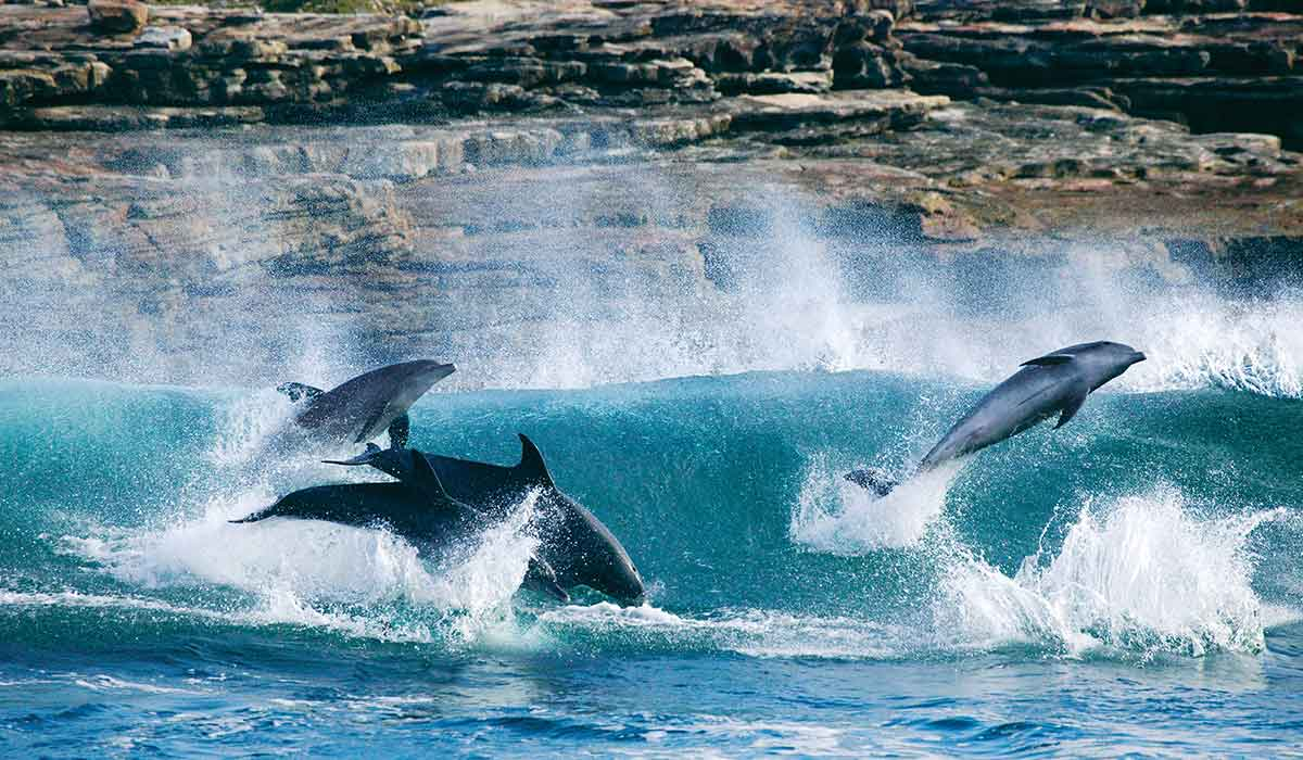 Dolphins surf the waves in front of a rock facing