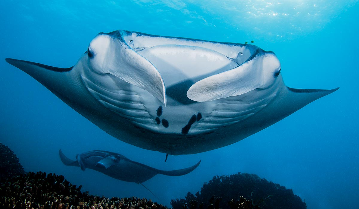 Giant devil ray flaps at the camera