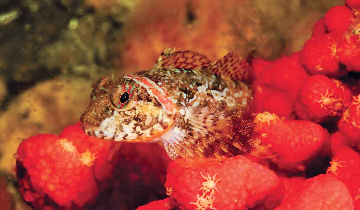 Little brown fish on top of red sponges