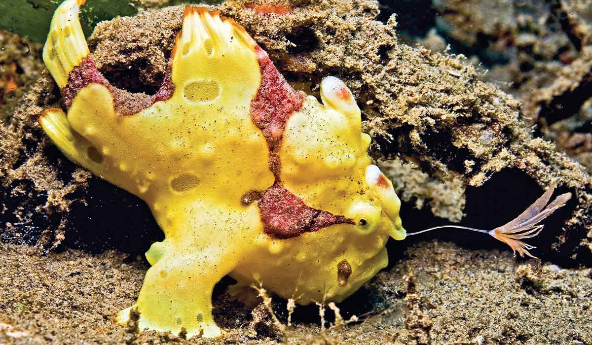 Lumpy, yellow frogfish lures a prey with a rod and tuft located on its head
