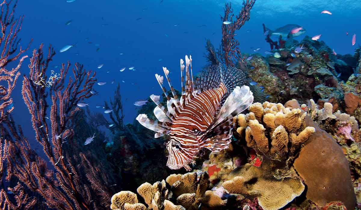 Morose lionfish sulks over coral