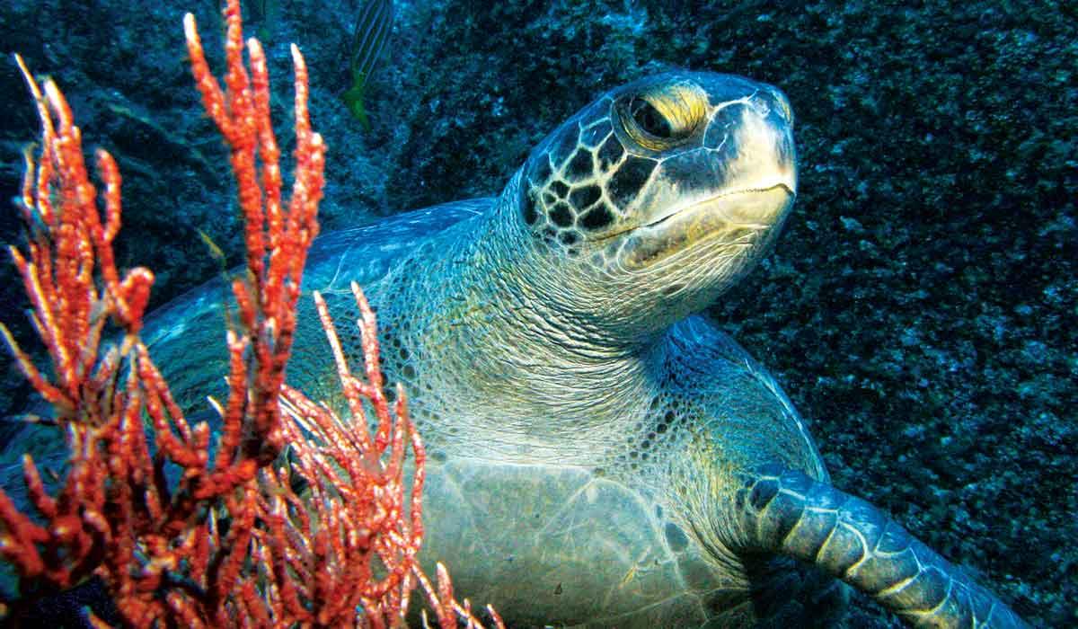 Sea turtle peers around red coral