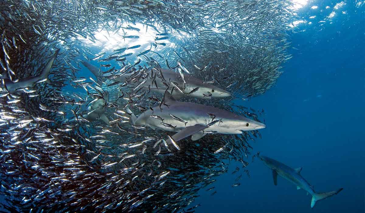 Several blue sharks swim through a swarm of anchovies