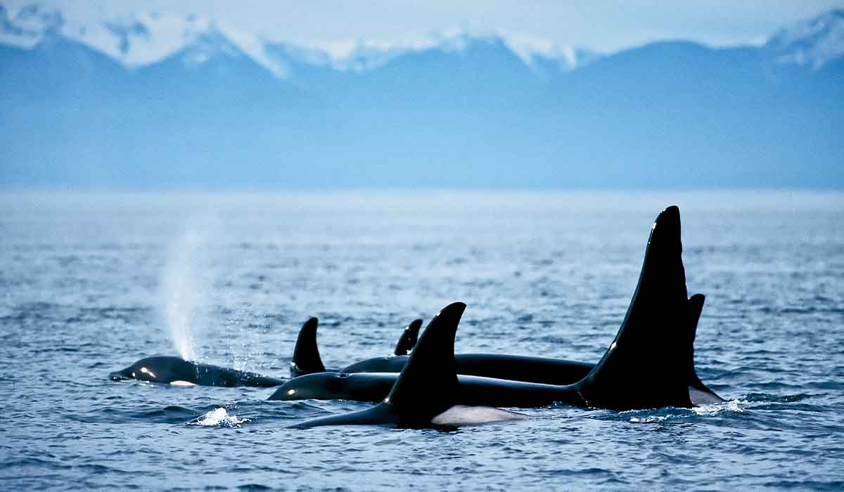 Several orca whales pop their fins out of water