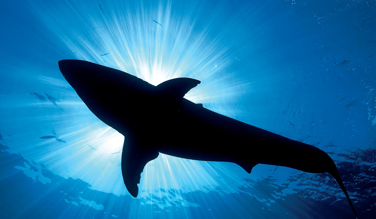 The dark silhouette of a Great White Shark