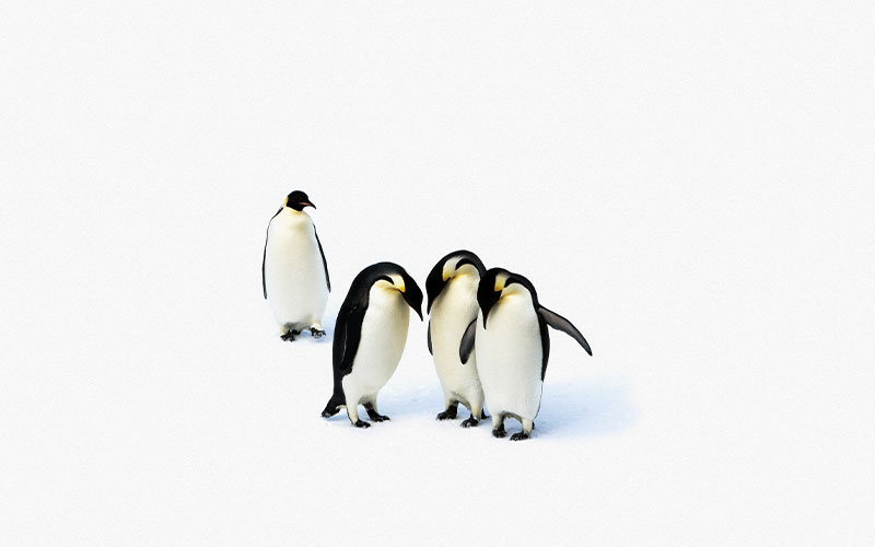 Three penguins group together to stare at each other's feet and a fourth pengiun is excluded from the clique