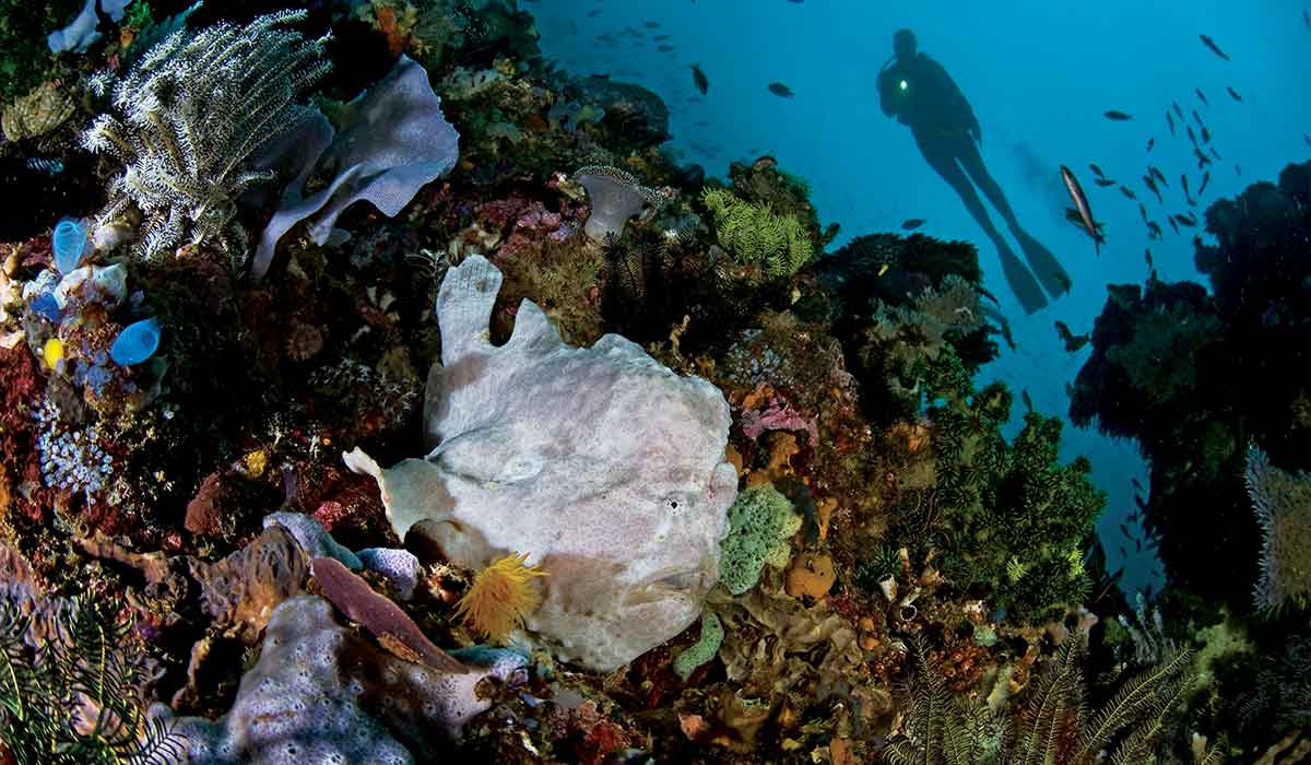White frogfish pokes head out of corals. The frogfish looks like a head of cauliflower.