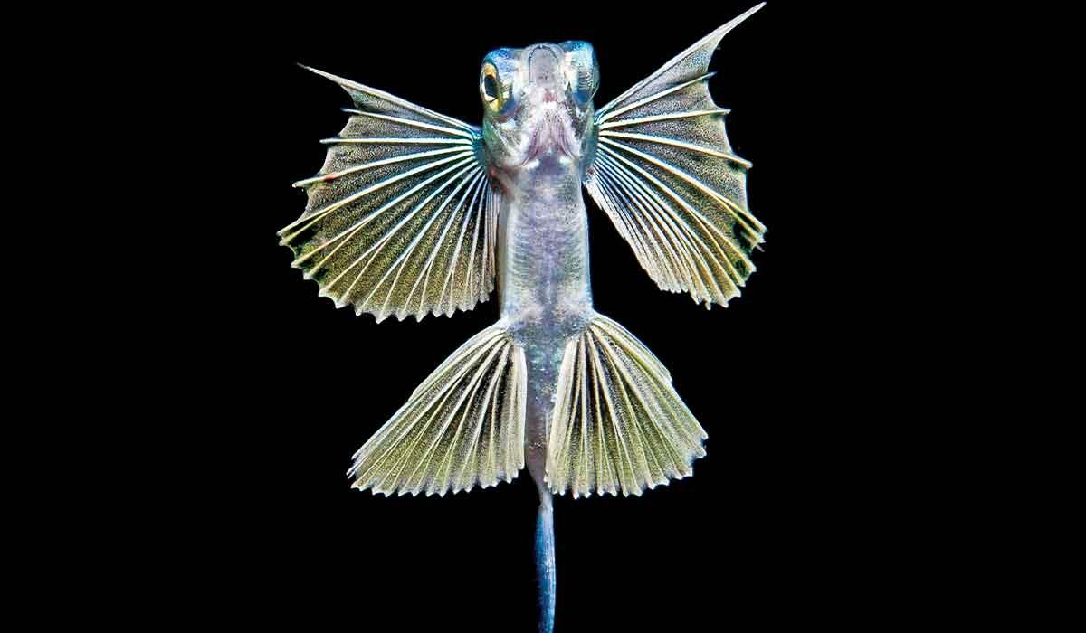 Bug-eyed, young sailor flying fish