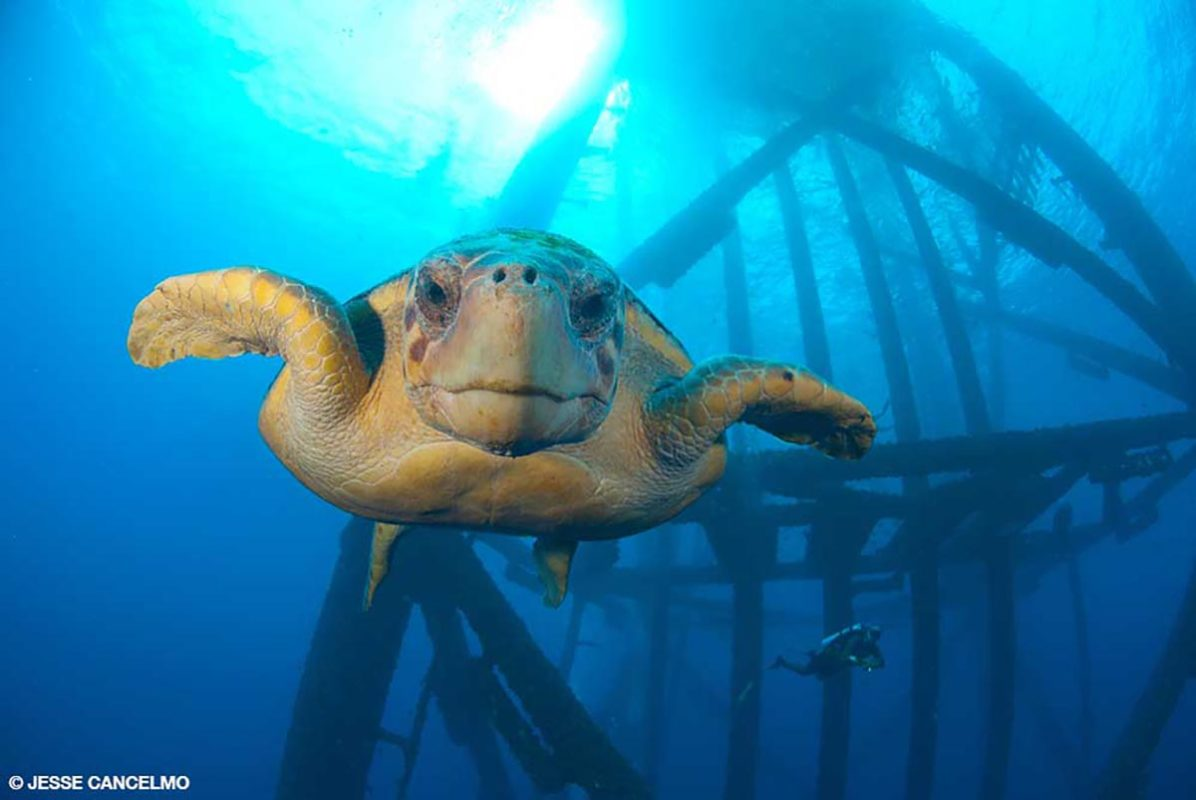 A turtle swims by an oil rig at Flower Garden Banks