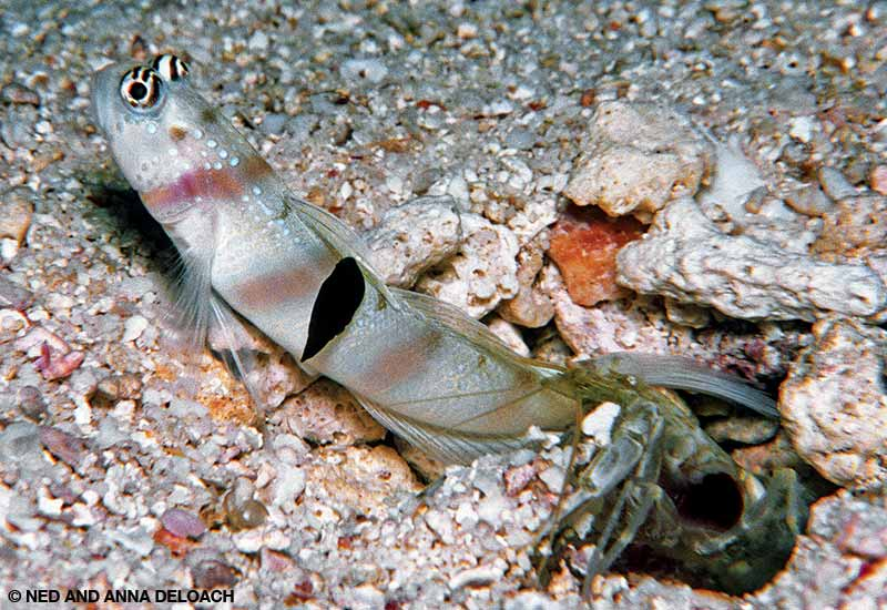 A small black nudibranch attaches to the fin of this Steinitz shrimpgoby.