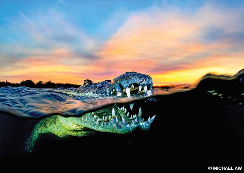 An over-under photo of an American crocodile at sunset at Jardines de la Reina, Cuba