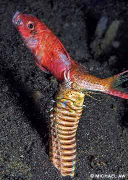 A bobbit worm grabs a goatfish at Lembeh Strait, North Sulawesi, Indonesia