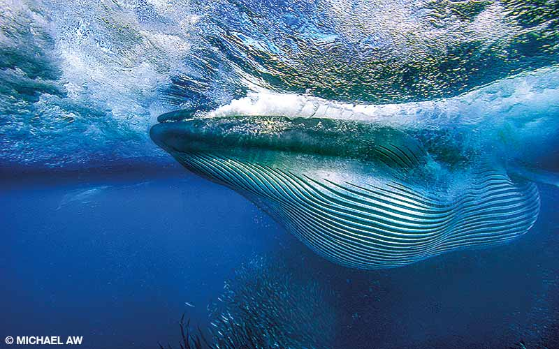 A Bryde's whale feeds off the east coast of South Africa