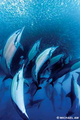 Short-beaked common dolphins charge into a sardine baitball off the east coast of South Africa