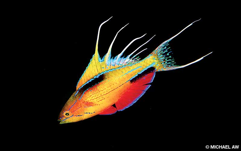A male flasher wrasse shows off its dorsal fins to attract a mate at Triton Bay, West Papua, Indonesia