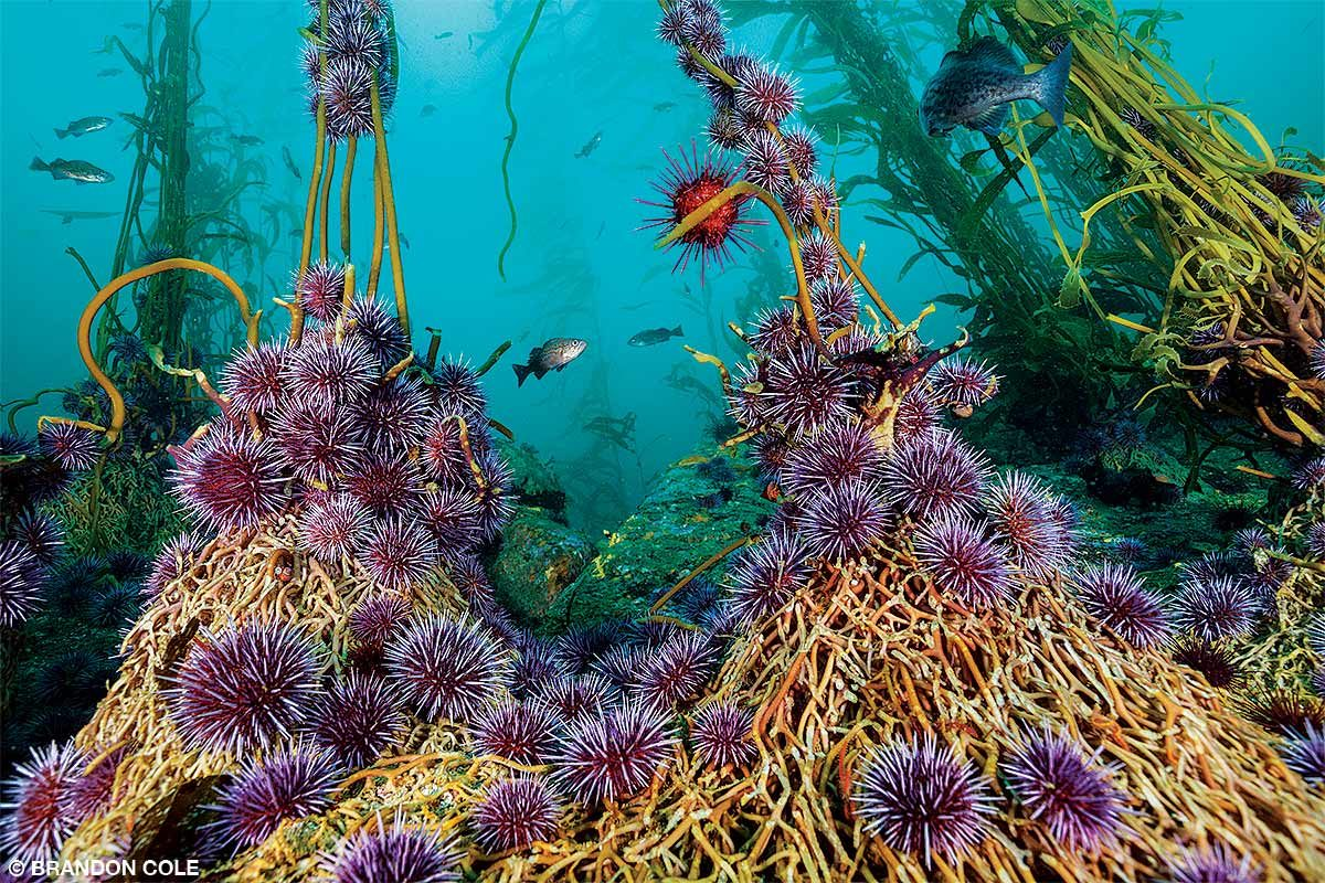 Purple sea urchins attach to feed on giant kelp.