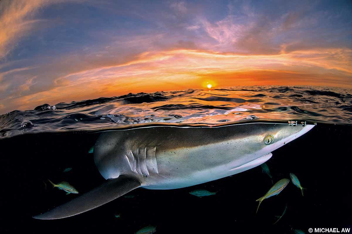 Silky sharks often congregate at the edge of the continental dropoff at Jardines de la Reina.